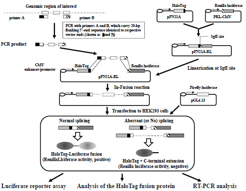 A Dual Reporter Splicing Assay Using HaloTag-containing Proteins