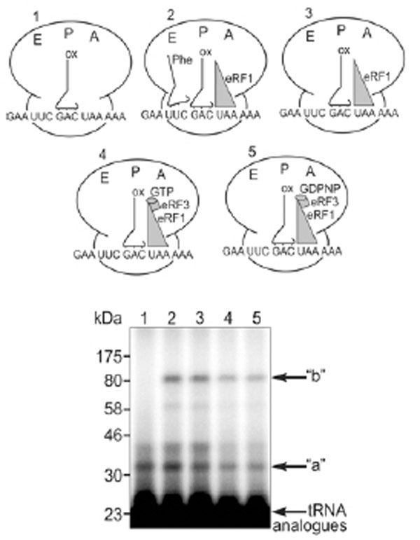 The Cca End Of P Trna Contacts Both The Human Rpl36al And The A Site