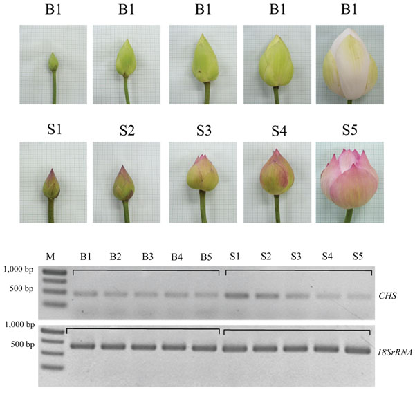 Transformation of antisense chalcone synthase chs gene into lotus comparison of chs gene expression in each stage of flower development by semi quantitative rt pcr and 18s rrna gene is control lotus cv mightylinksfo