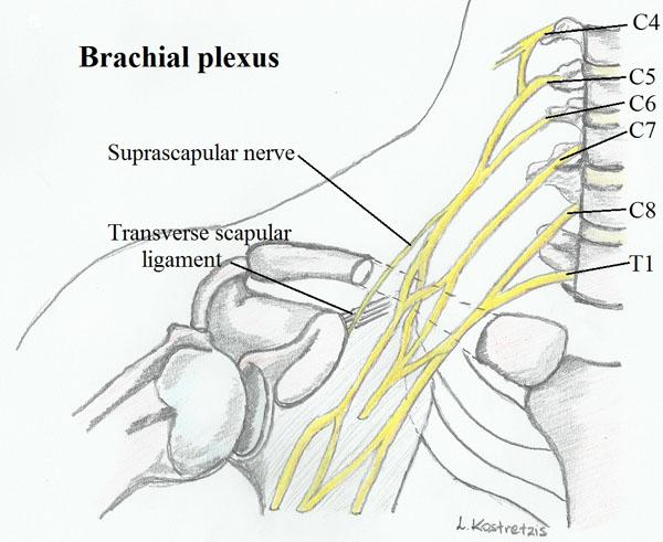 Suprascapular Nerve Pathology: A Review of the Literature ~ Fulltext