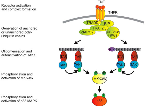 download stress activated protein kinases 2008